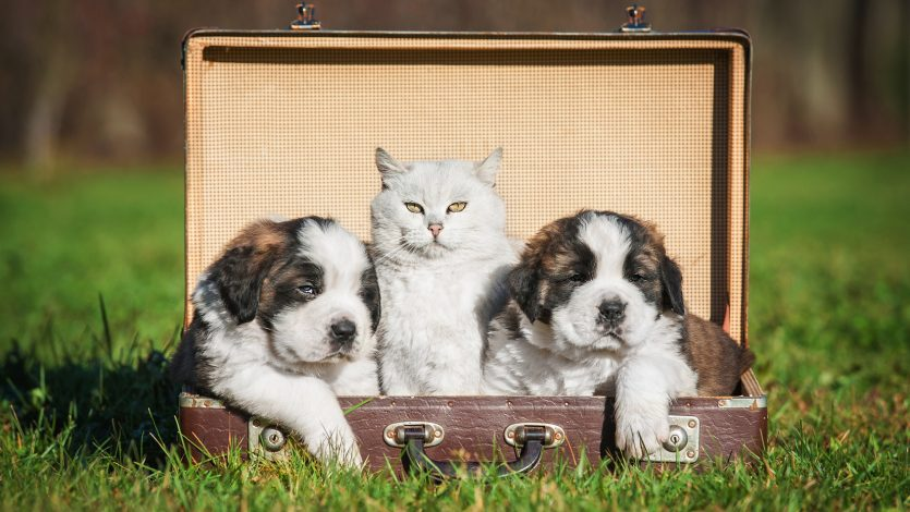 Saint bernard puppies with a cat sitting in a suitcase